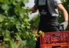 La raccolta delle uve in Tommasi