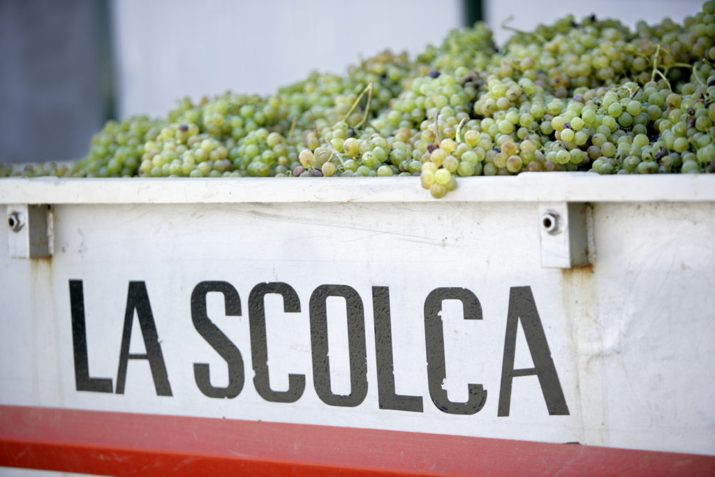 Vendemmia, harvest, of white Cortese grapes at La Scolca Winery in Gavi, Piedmont, Italy.